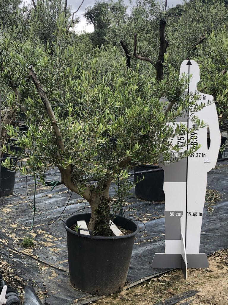 Olea europaea cont. 50l-1  P