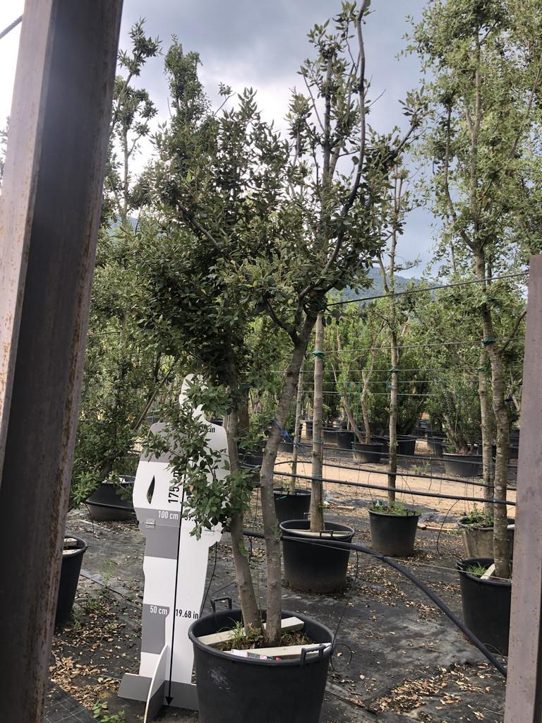 Quercus ilex cont. 130l-1  P