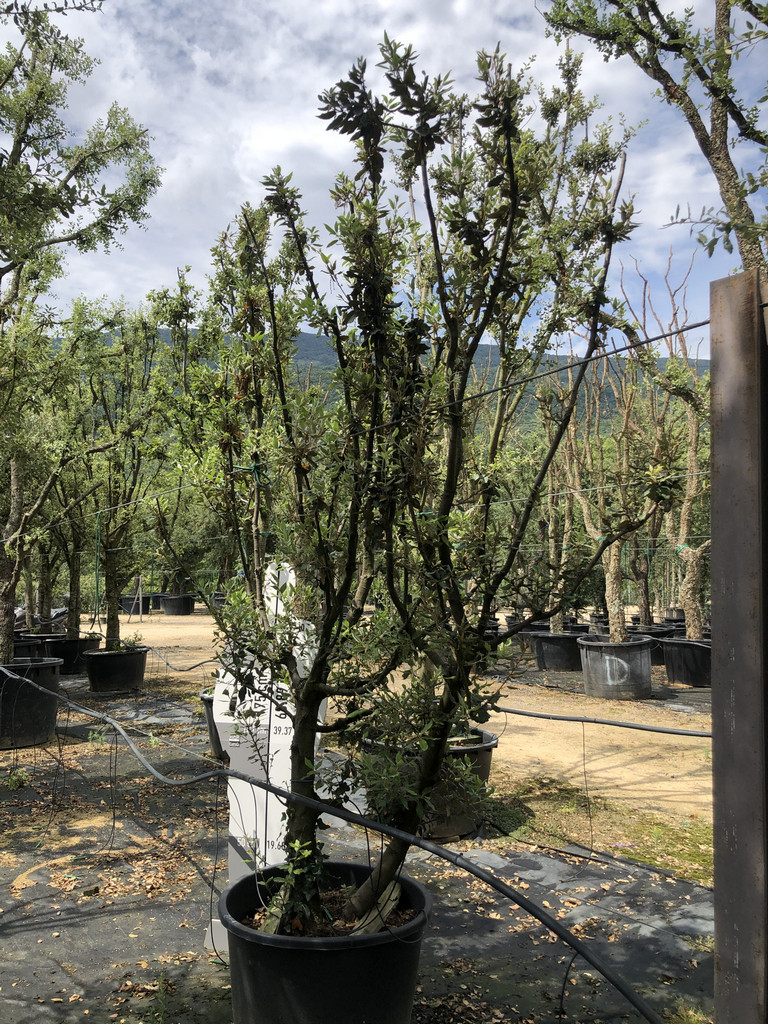 Quercus ilex cont. 160l-1  P