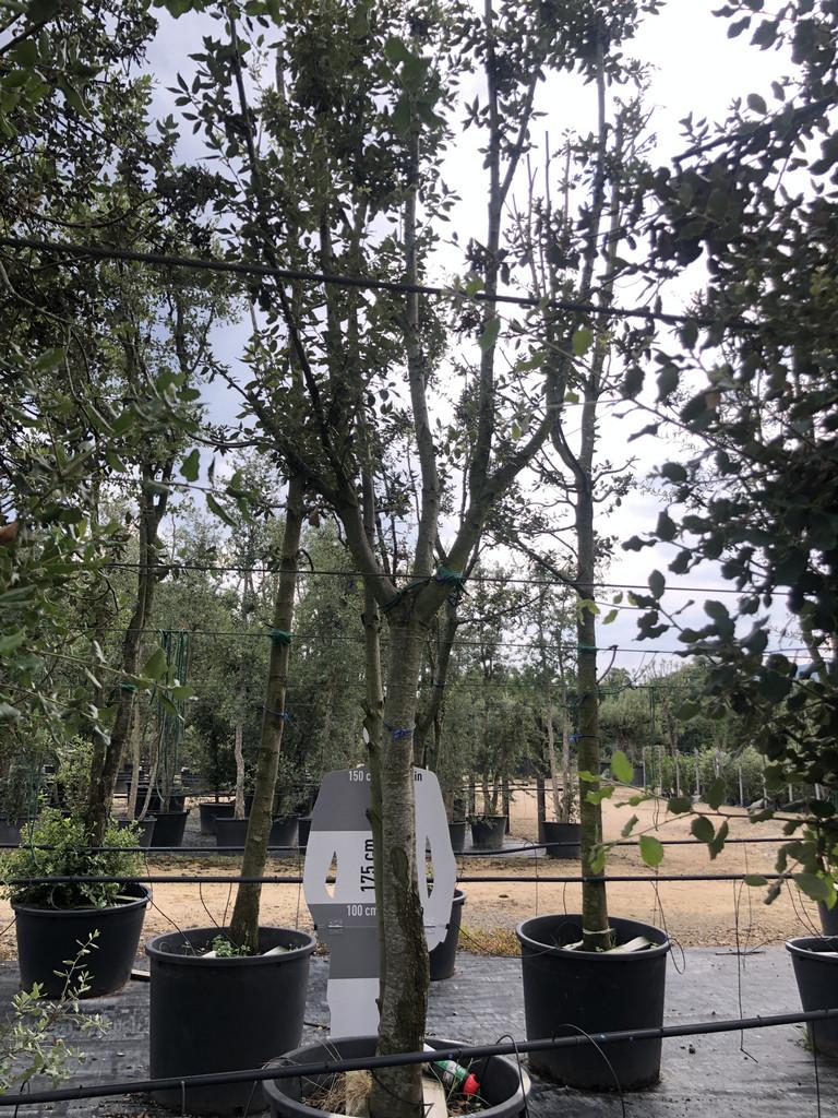 Quercus ilex cont. 230l-1  P