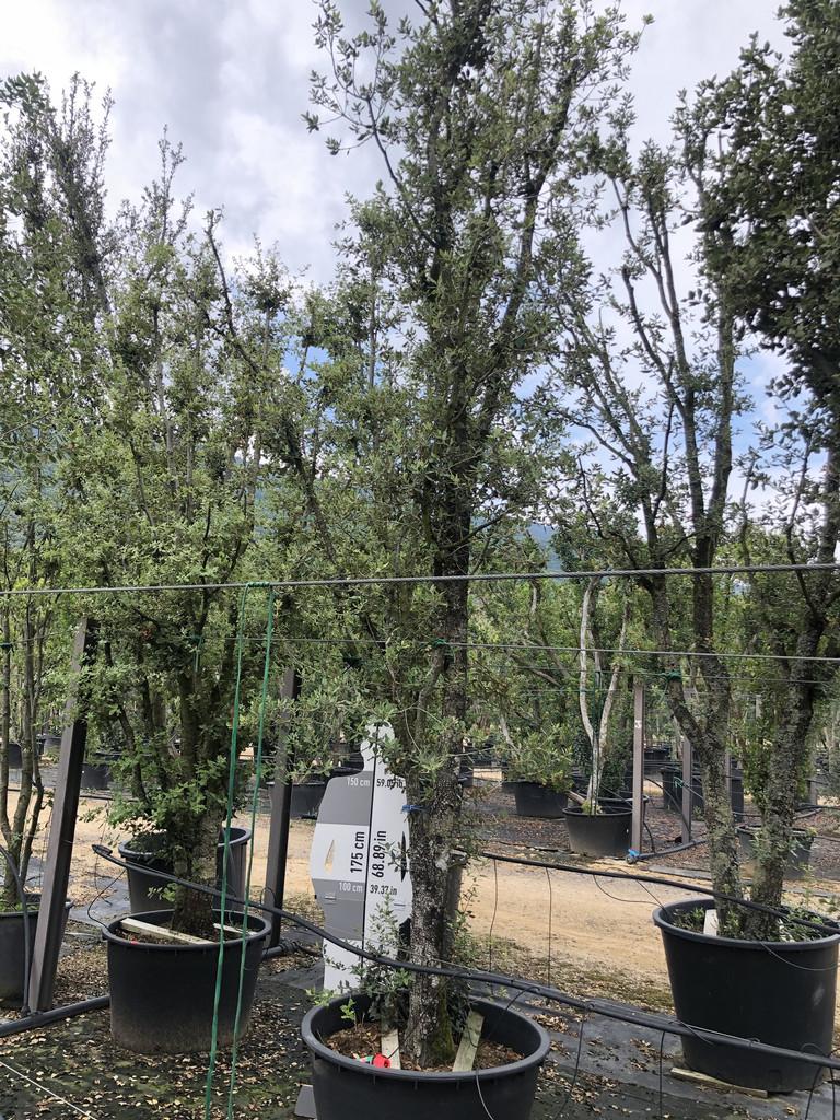 Quercus ilex cont. 280l-1  P