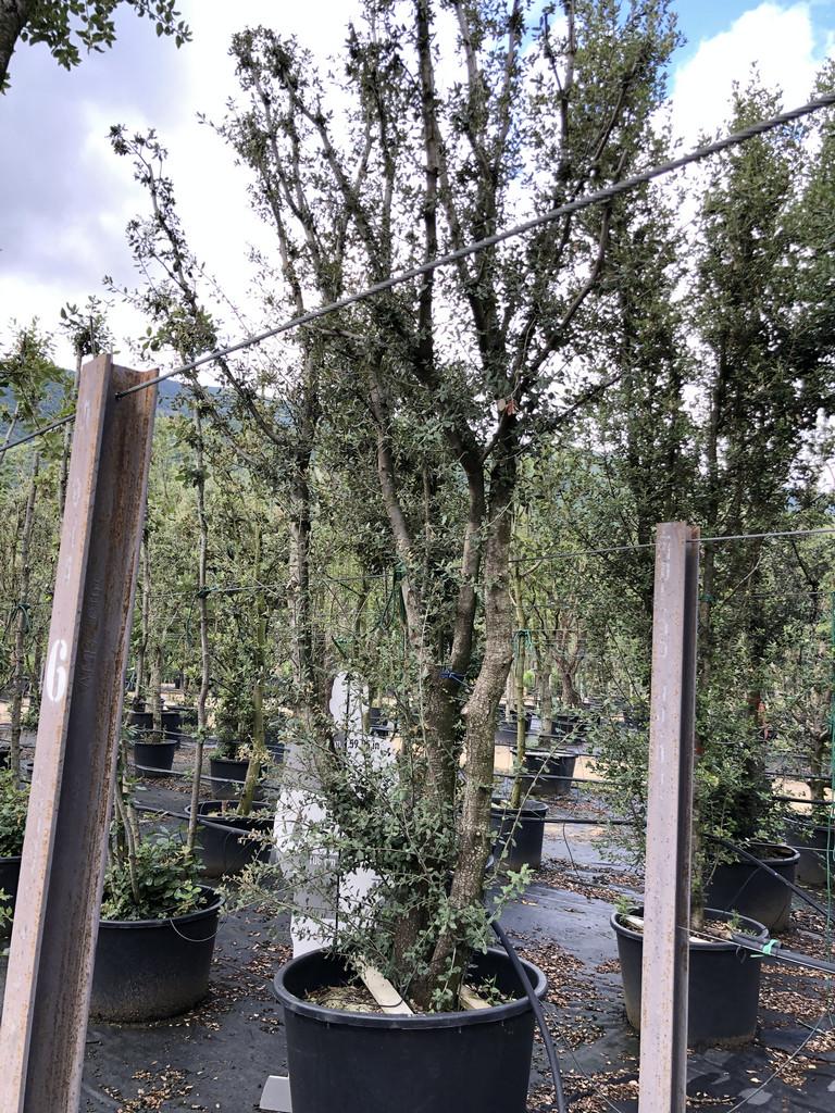 Quercus ilex cont. 350l-2  P