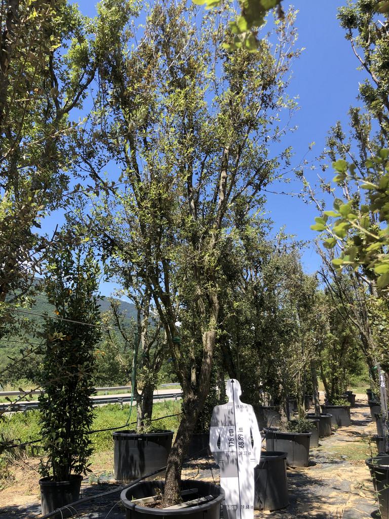 Quercus ilex cont. 450l-2  P