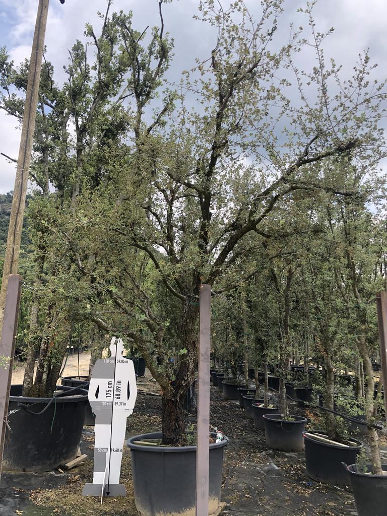 Quercus ilex cont. 450l-4  P