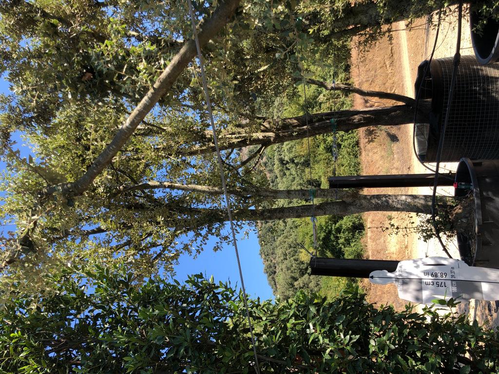 Quercus ilex cont. 750l-2  P