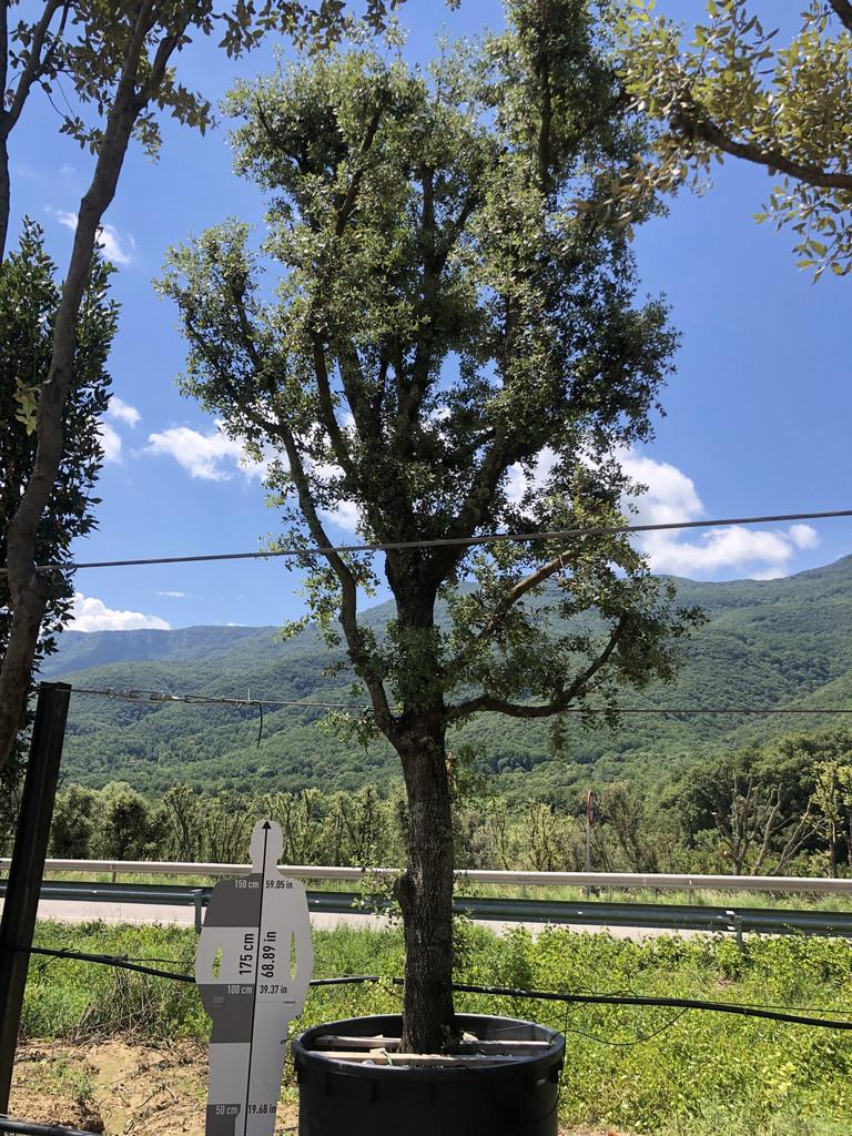 Quercus ilex cont. 750l-3  P