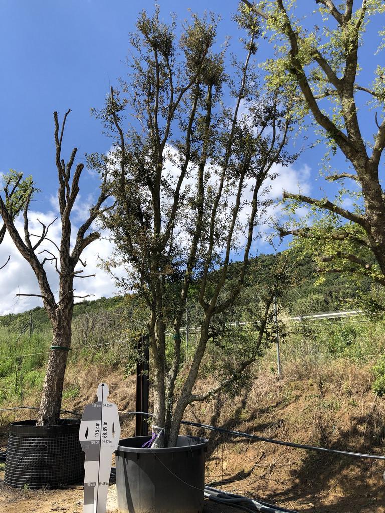 Quercus ilex cont. 1000l-4  P