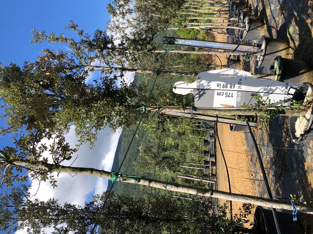 Quercus ilex cont. 16-18  P