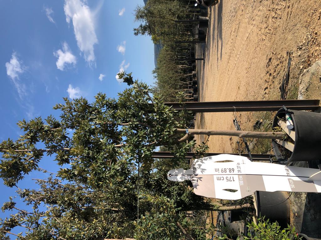 Quercus ilex cont. 18-20  P