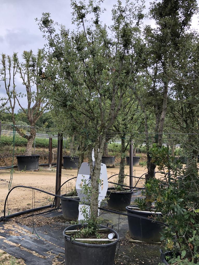 Quercus ilex cont. 25-30  P