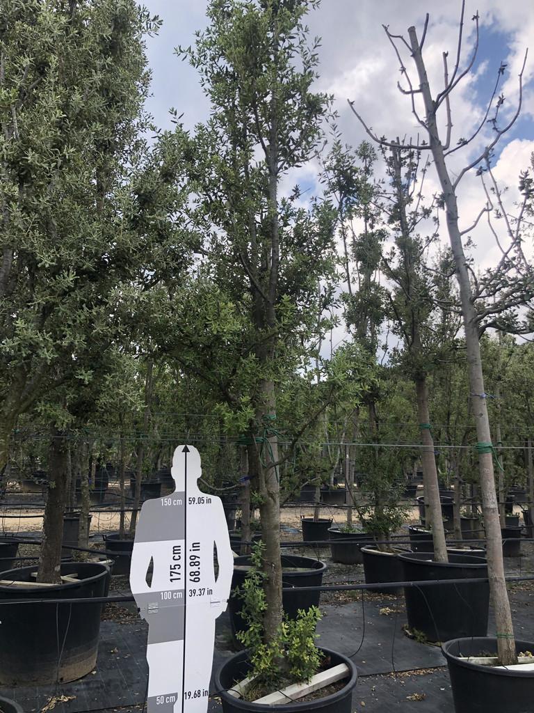 Quercus ilex cont. 30-35  P