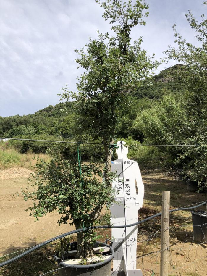 Quercus suber cont. 110l-0  P