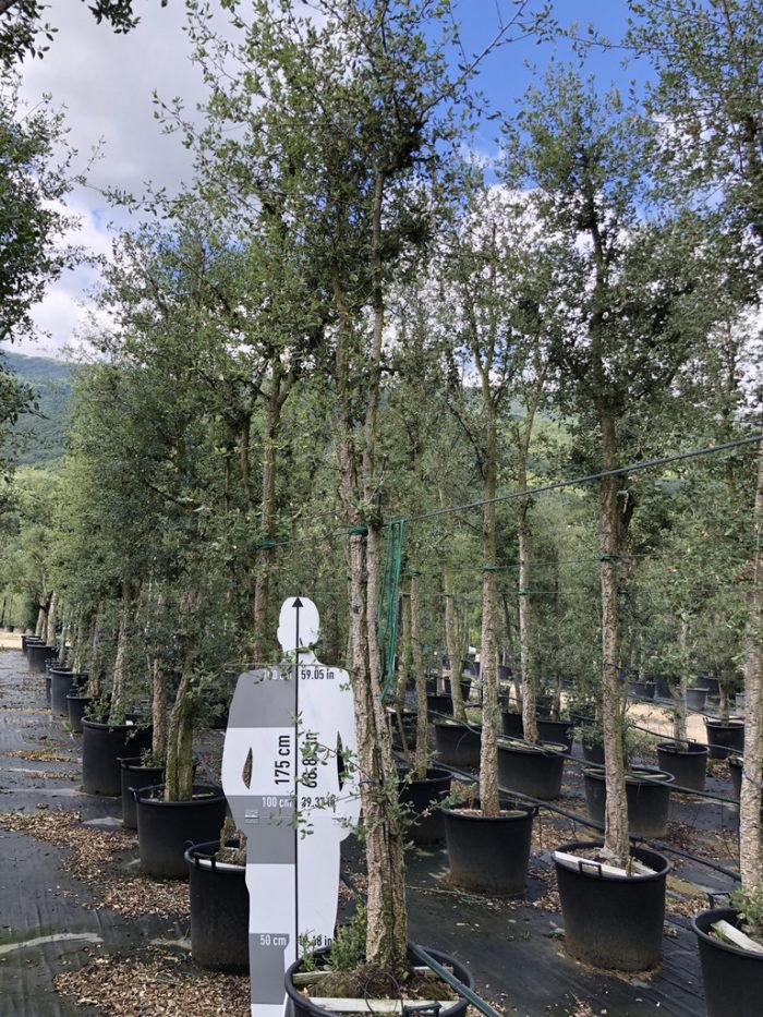Quercus suber cont. 130l-0  P
