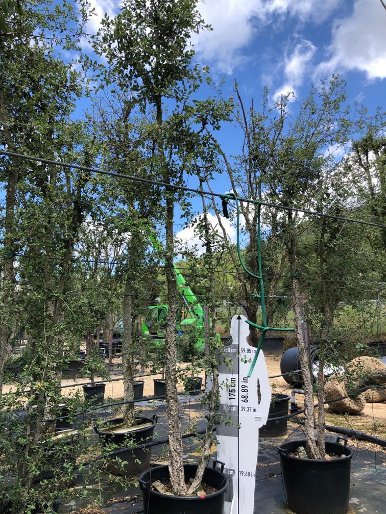 Quercus suber cont. 130l-1  P
