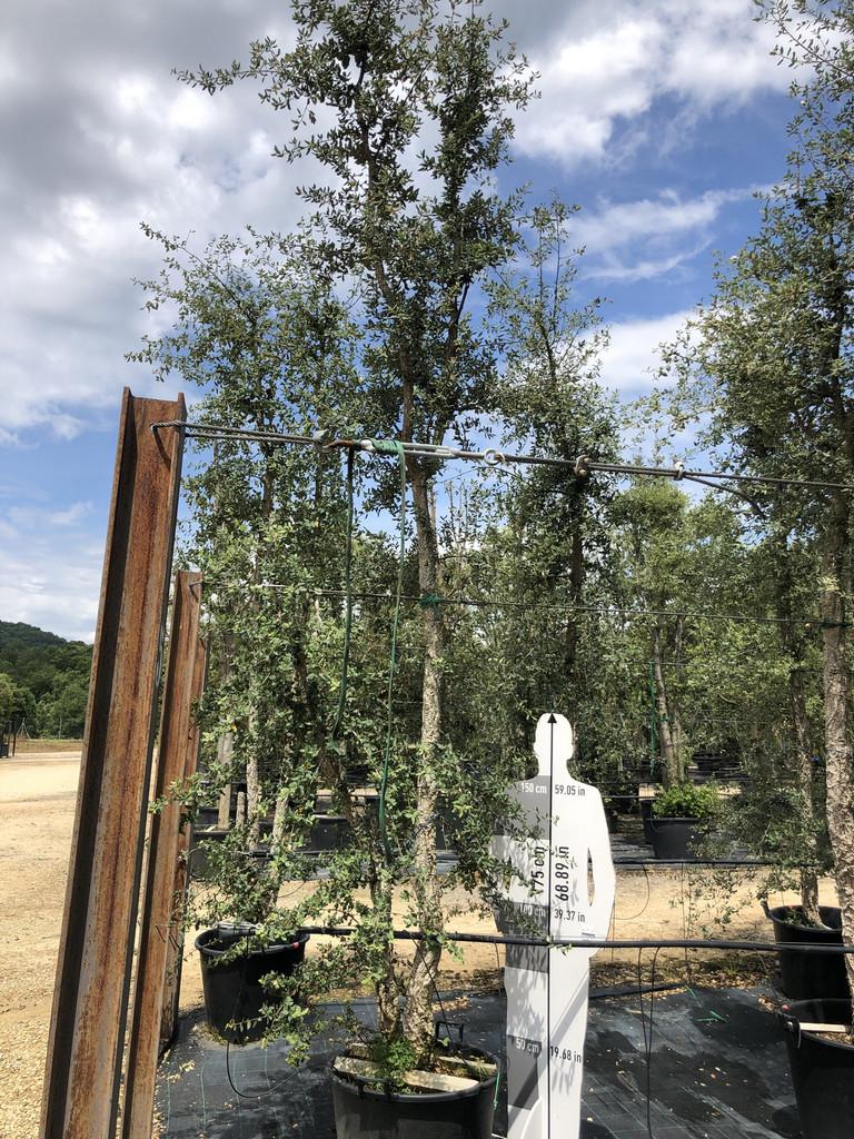 Quercus suber cont. 130l-2  P