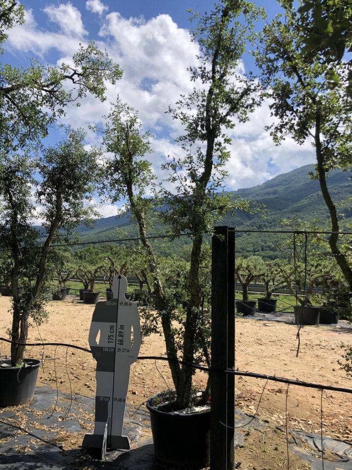 Quercus suber cont. 160l-0  P