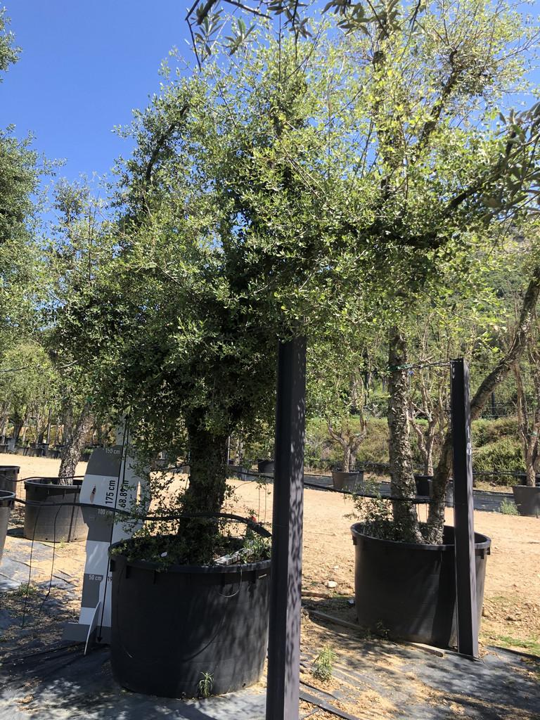 Quercus suber cont. 750l-1  P