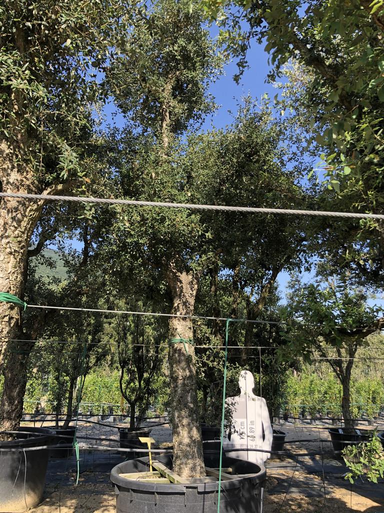 Quercus suber cont. 1000l-1  P