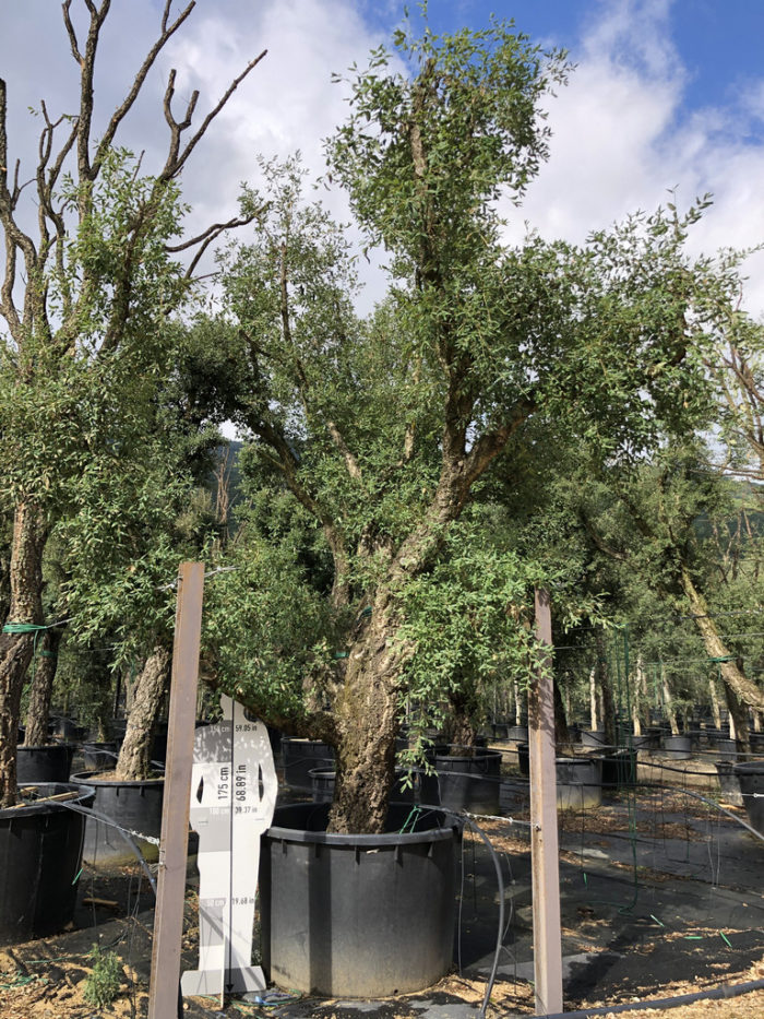 Quercus suber cont. 1000l-2  P