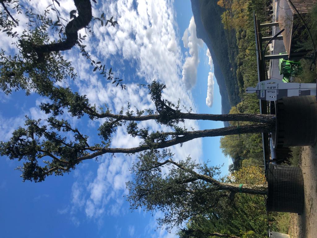 Quercus suber cont. 1500l-3  P