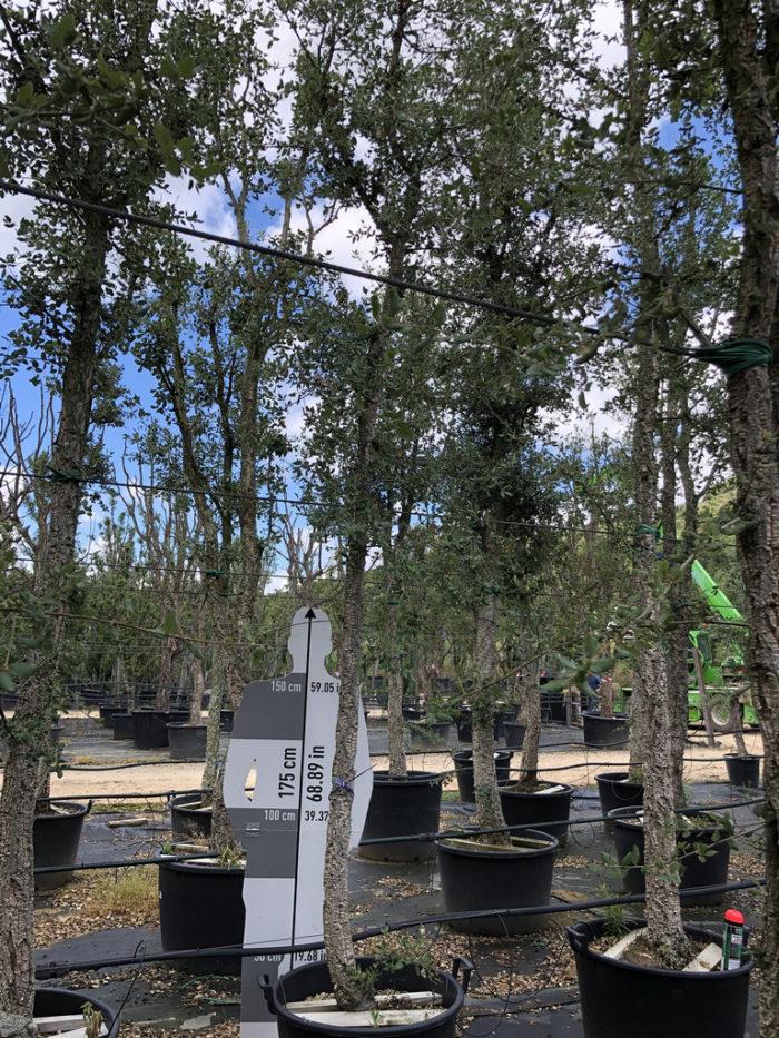 Quercus suber cont. 18-20  P
