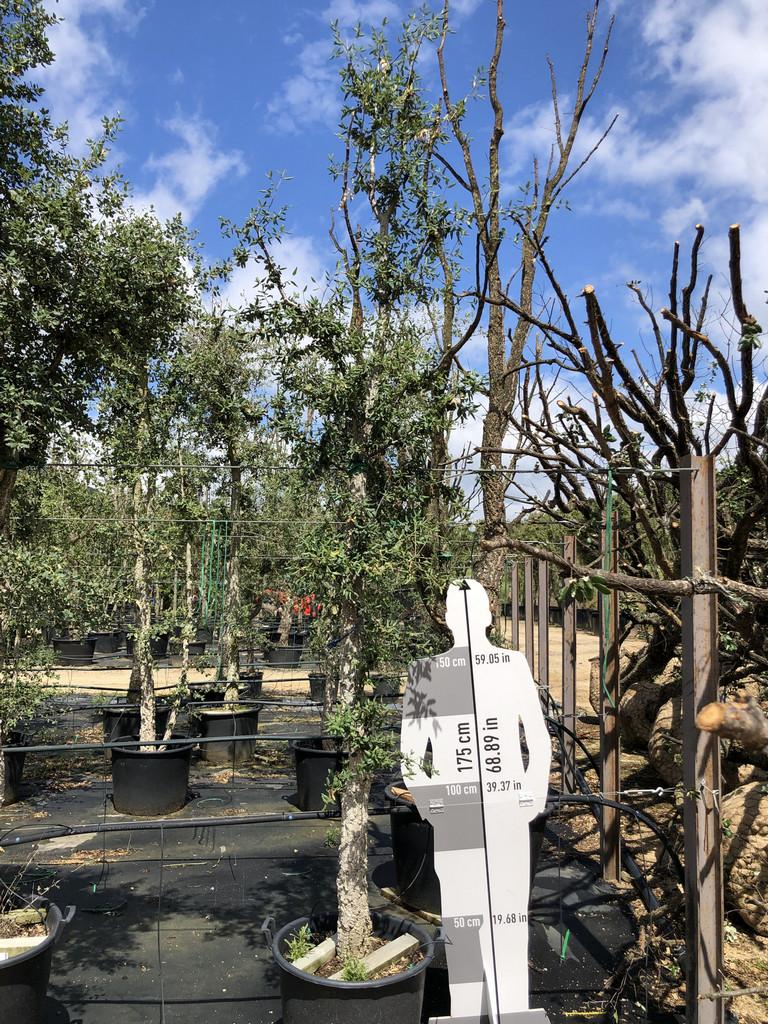 Quercus suber cont. 20-25  P