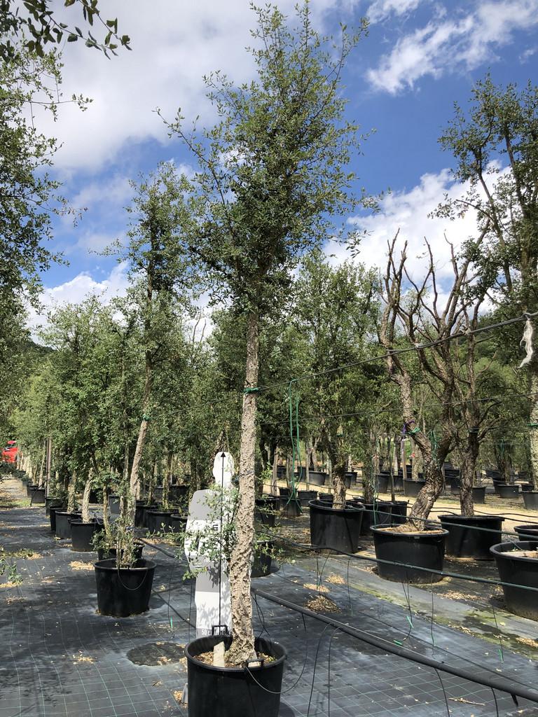 Quercus suber cont. 25-30  P
