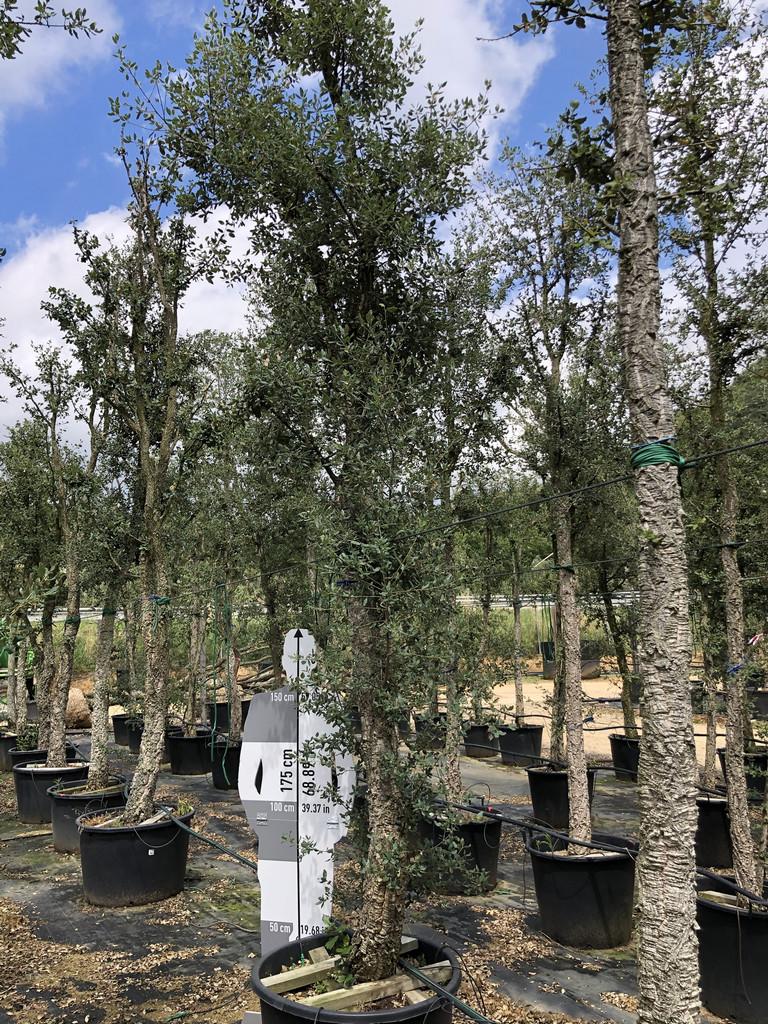 Quercus suber cont. 30-35  P