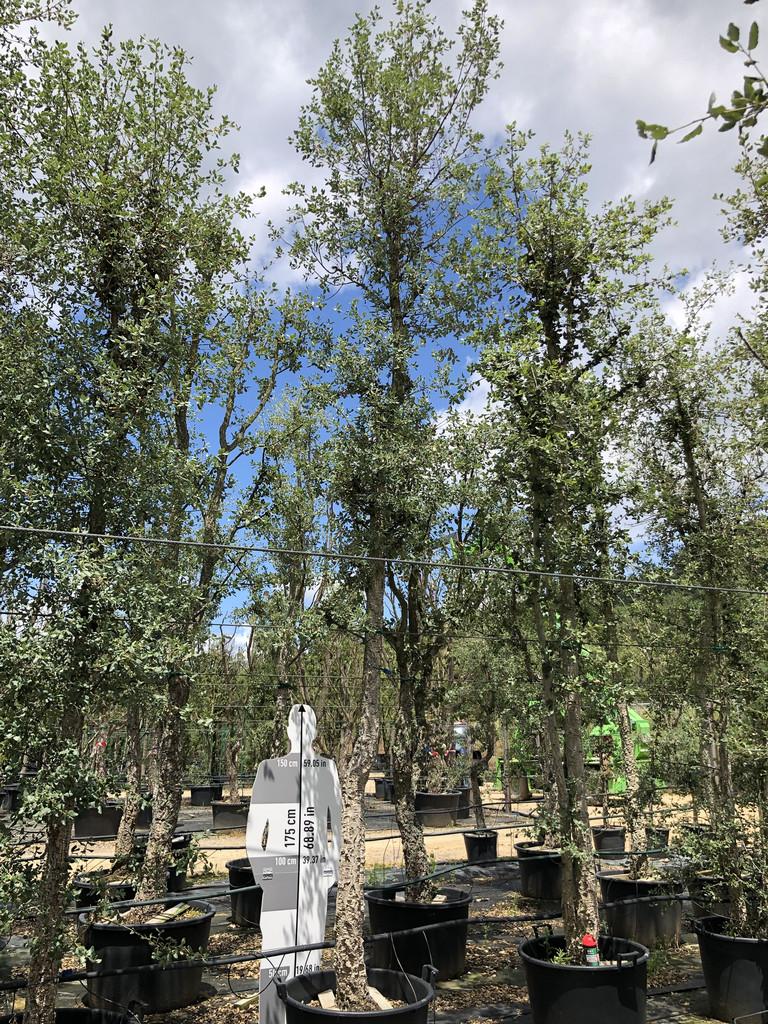 Quercus suber cont. 35-40  P