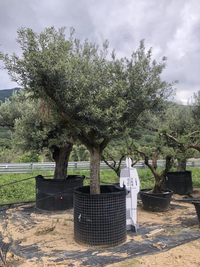 Olea europaea rejilla-1  P
