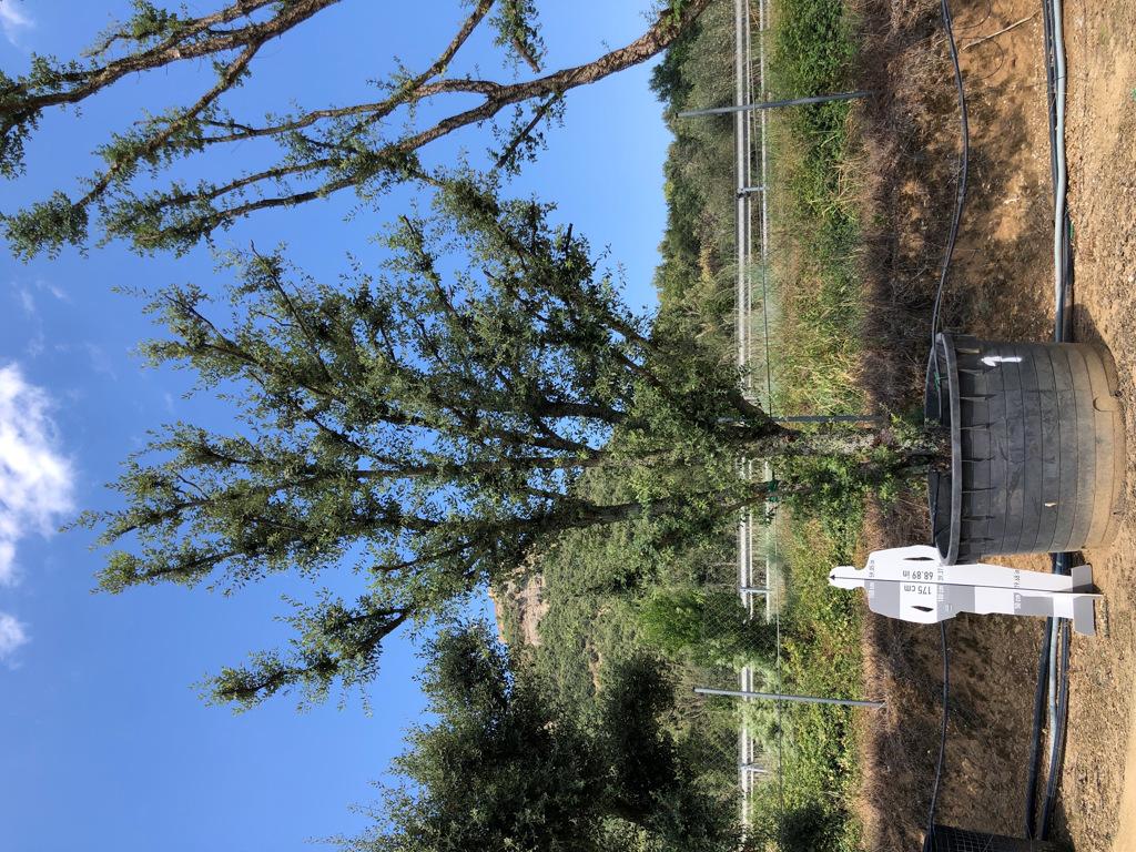 Quercus ilex cont. 1500l-2  P