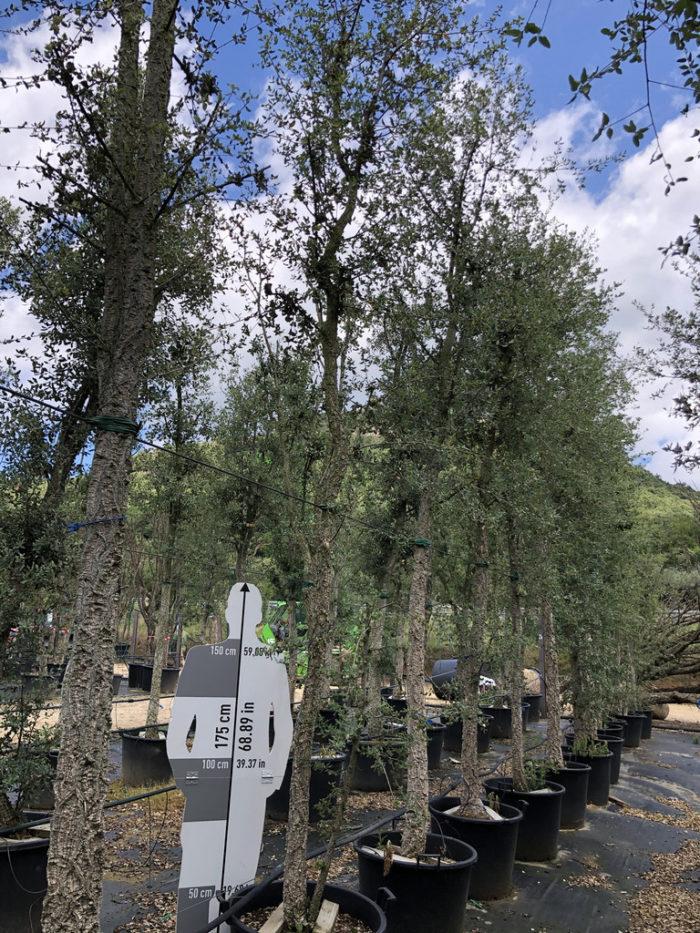 Quercus suber cont. 70-90l 0  P