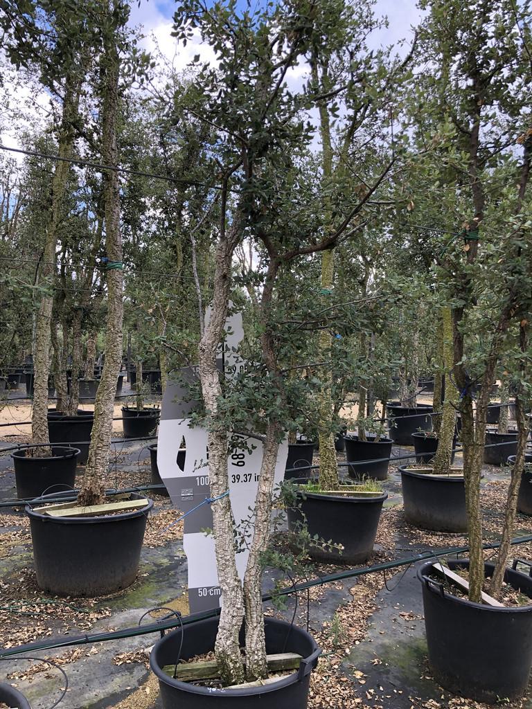Quercus suber cont. 70-90l 2  P