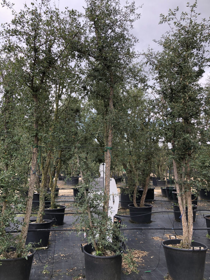 Quercus suber cont. 110l-2  P