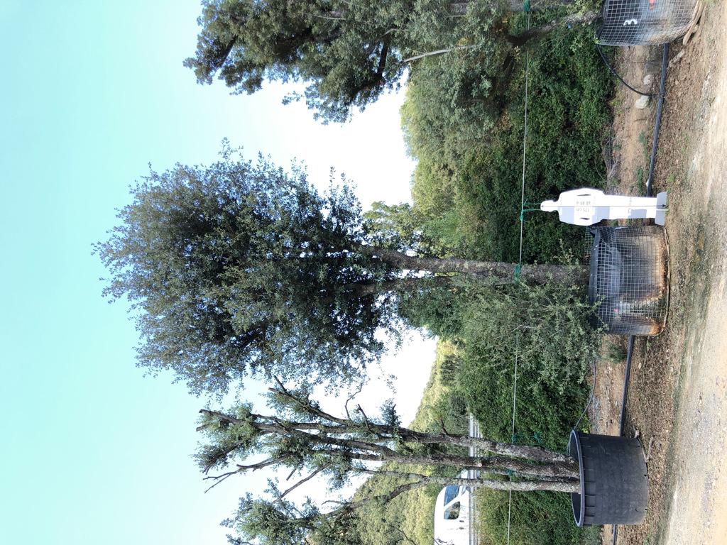 Quercus ilex rejilla-4  P