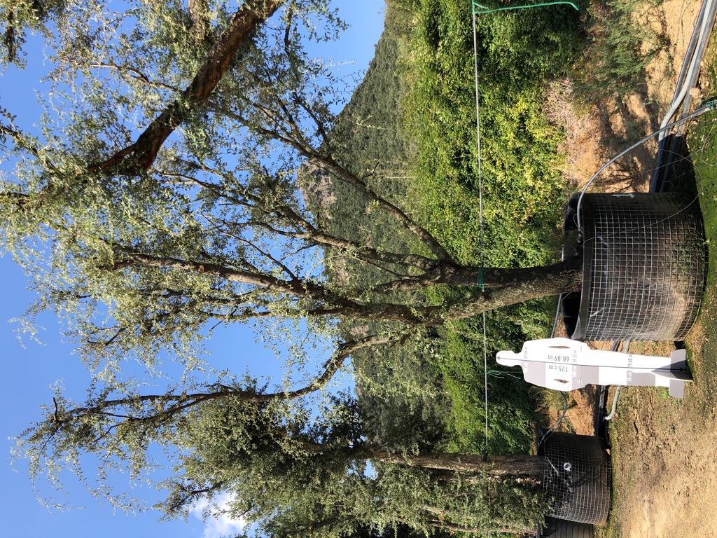 Quercus ilex rejilla-1  P