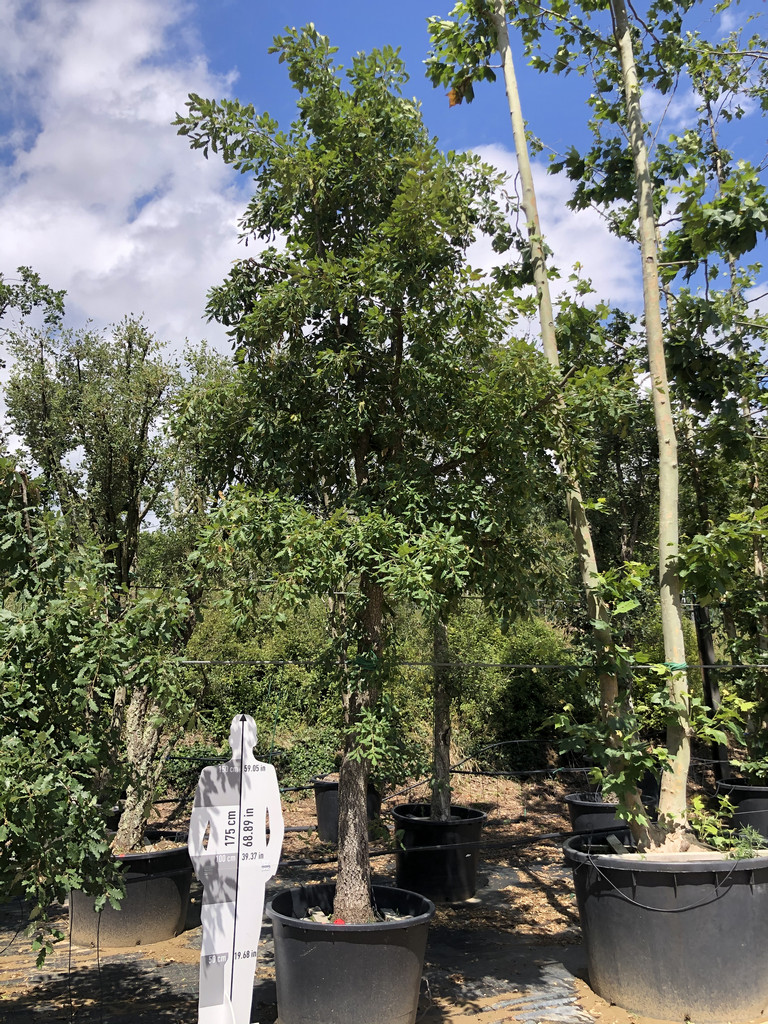 Quercus robur cont. 350-1 P