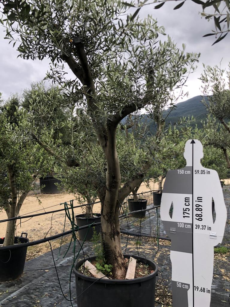 Olea europaea cont. 230l-0 P