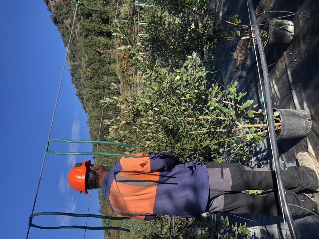 Quercus ilex arbustiva 10l +150cm