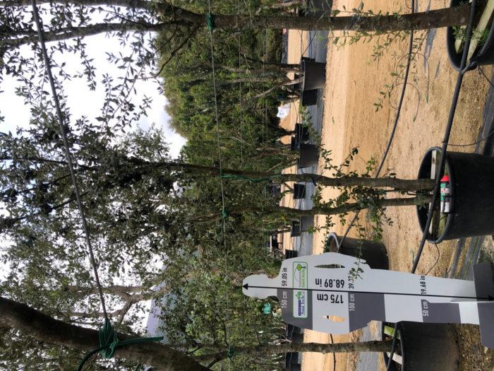 Quercus ilex cont. 110l-0  P