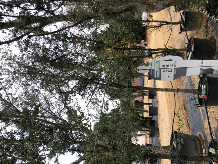 Quercus ilex cont. 20-25  P
