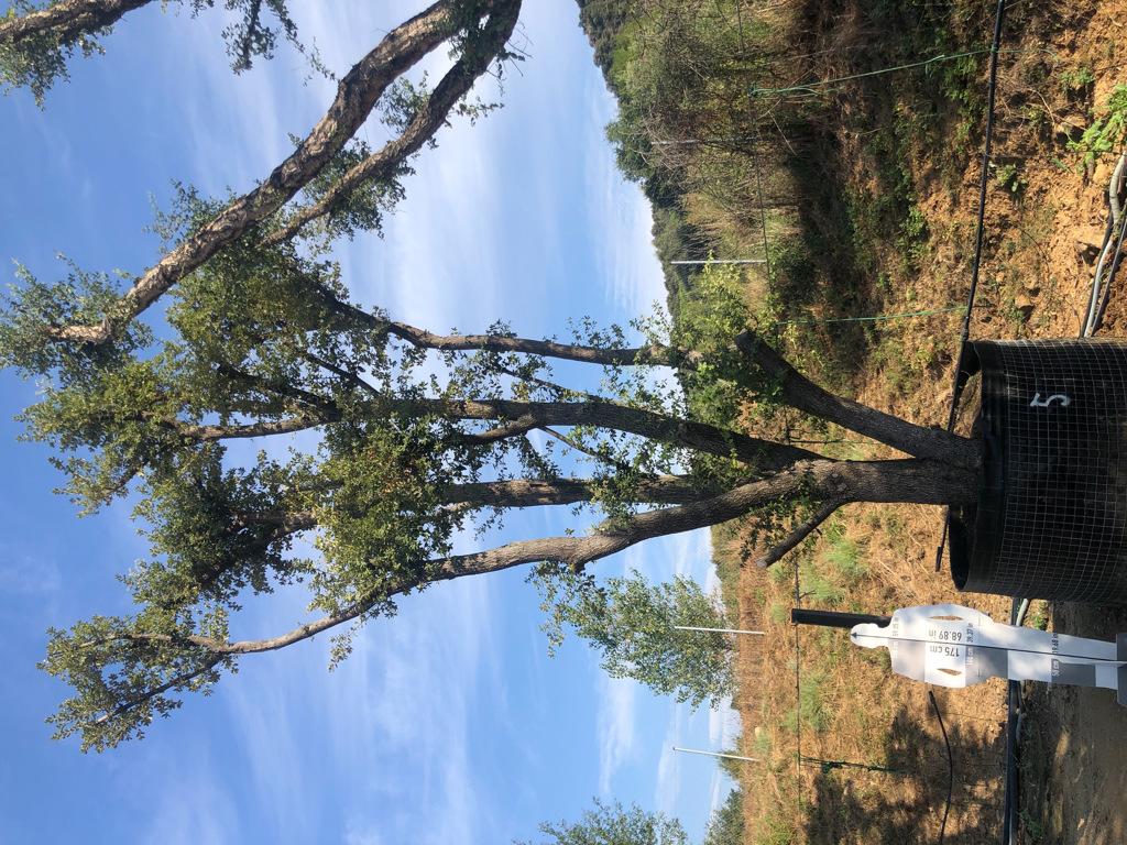 Quercus ilex rejilla-5  P