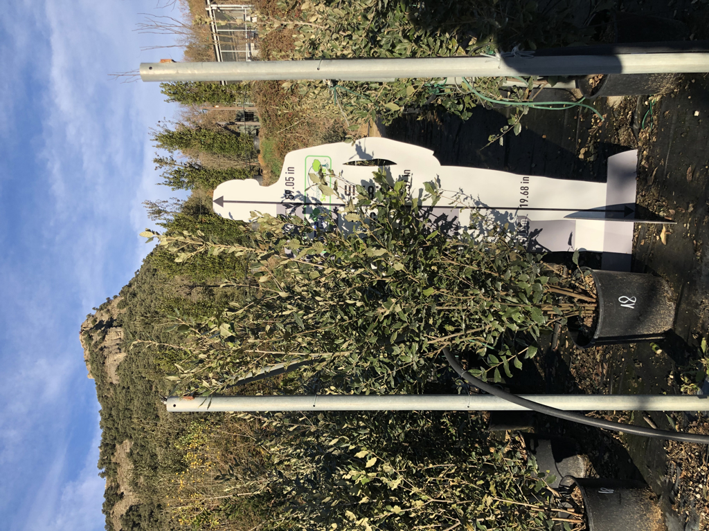 Quercus ilex arbustiva 18-20l +150cm