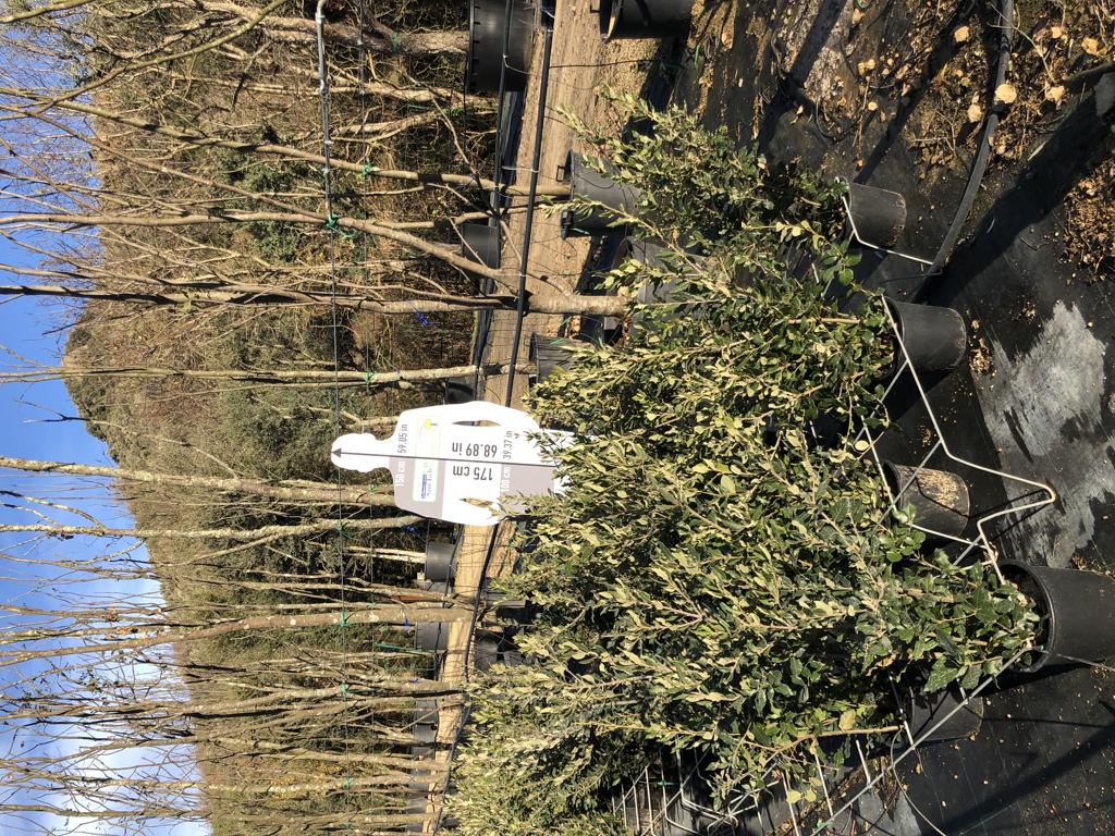 Quercus ilex arbustiva 5l +80cm
