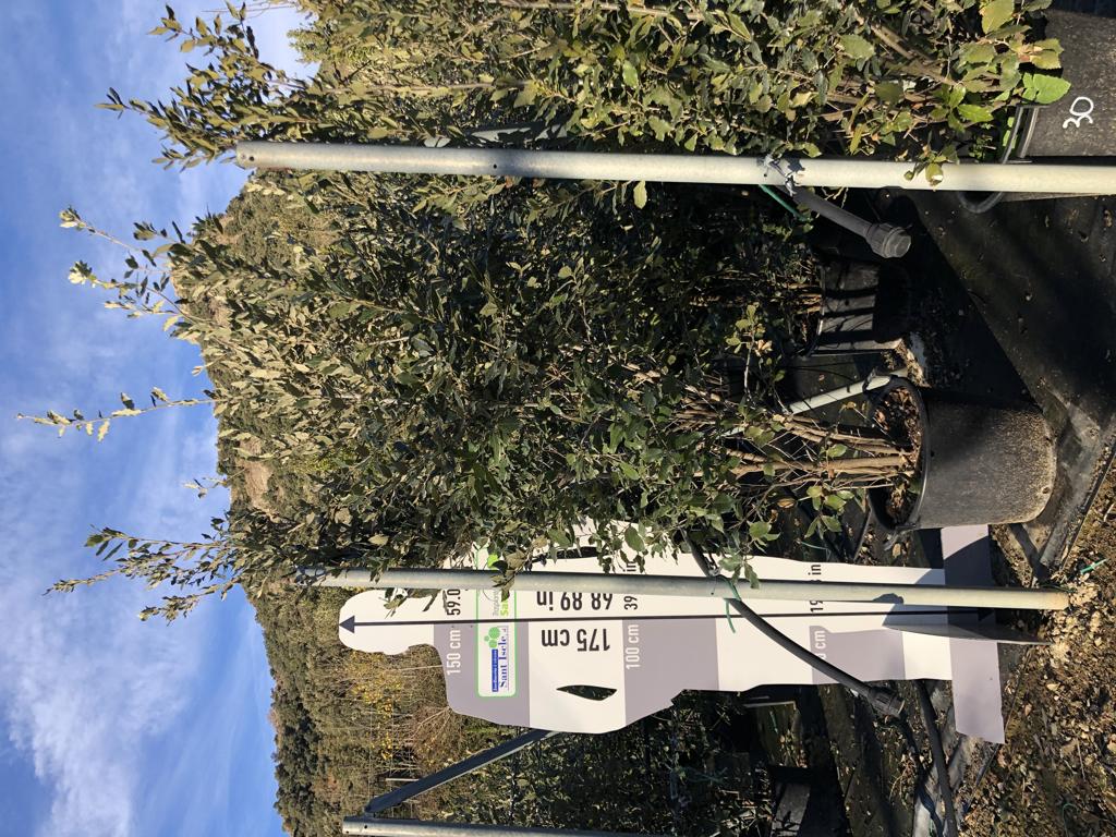 Quercus ilex arbustiva 30l +200