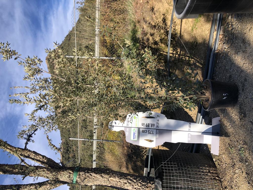 Quercus ilex arbustiva 45-50l +250