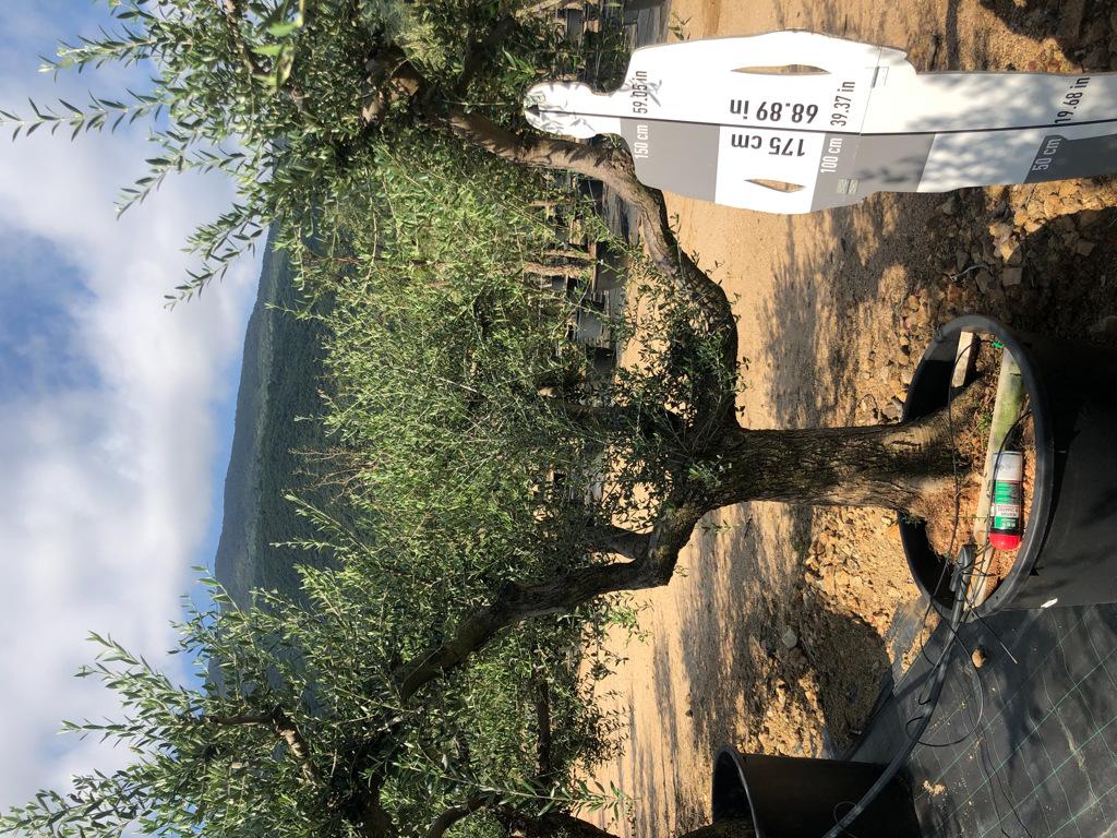 Olea europaea cont. 230l-1  P