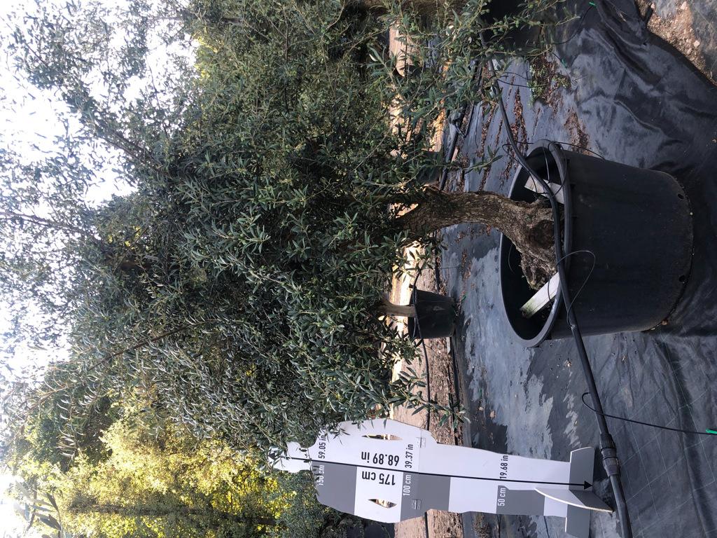 Olea europaea cont. 280l-1  P