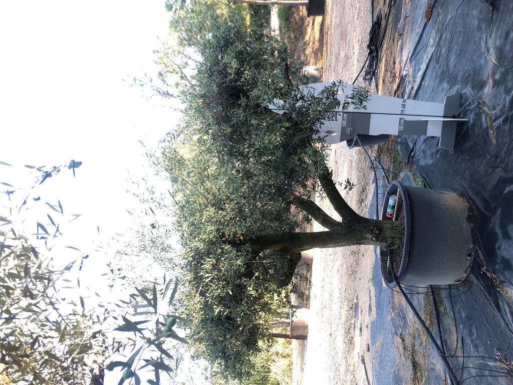 Olea europaea cont. 280l-4  P
