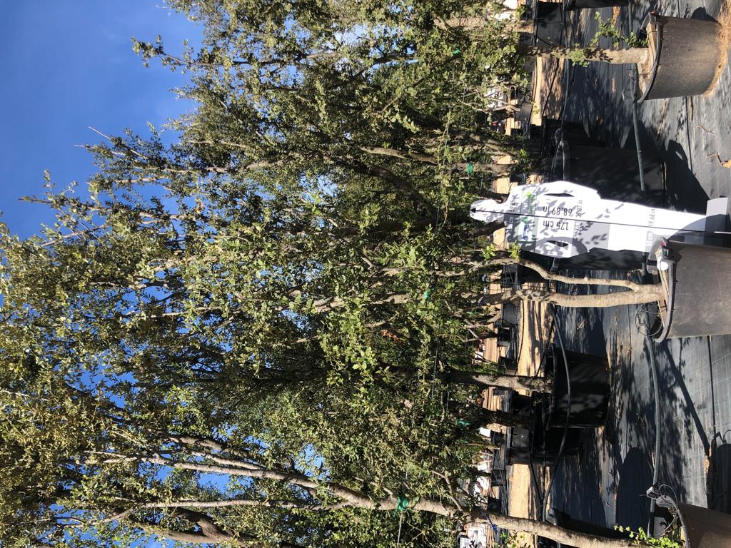 Quercus ilex cont. 130l-2  P